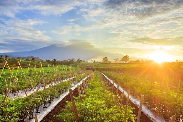 Morning view of chilli gardens with mountain ranges in bengkulu utara, indonesia