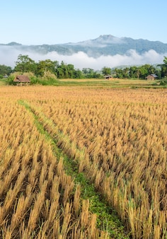 Morning view of rice field after harvesting with fog over the mountain