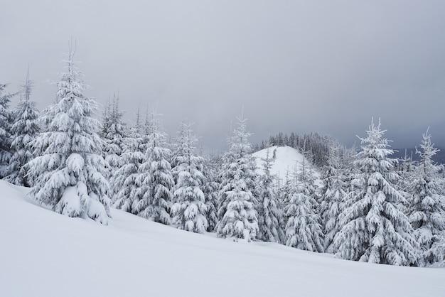 Утренний зимний спокойный горный пейзаж с красивыми обледеневшими елями и лыжной трассой через сугробы на горном склоне карпатских гор, украина