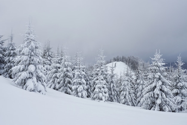 Morning winter calm mountain landscape with beautiful frosting fir trees and ski track thrue snowdrifts on mountain slope carpathian mountains, ukraine