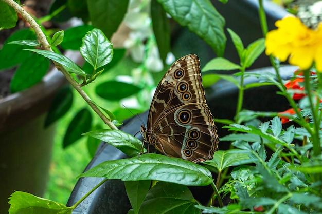 Morpho menelaus는 공원의 녹색 식물 잎에 앉아 있는 나비의 종입니다.