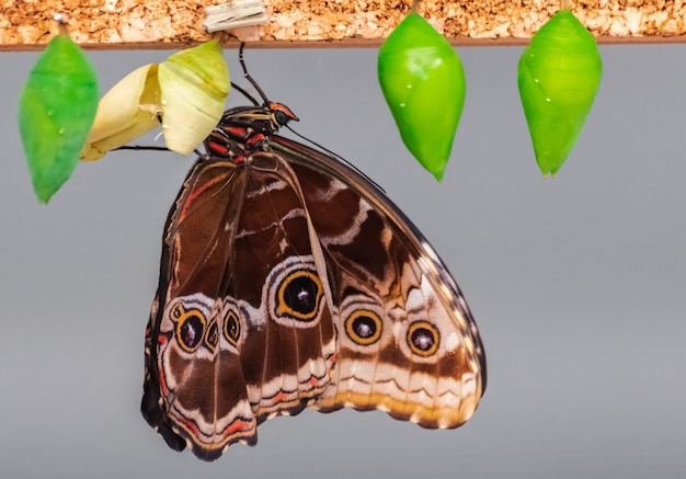 Morpho peleides butterfly, hatching from chrysalis