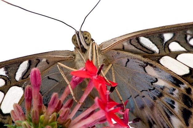 Бабочка морфо пелеидес на белом изолированные