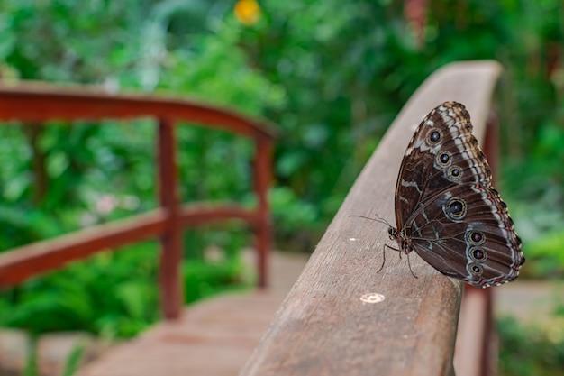 Бабочка morpho peleides, отдыхающая на деревянном мостике