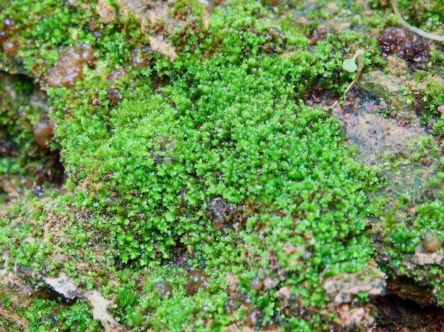 Мос текстуры фона. зеленый мос на каменном фоне