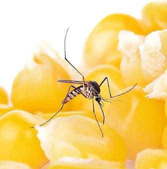 Комар закройте комара на поверхности еды. министерство здравоохранения по борьбе с комарами.