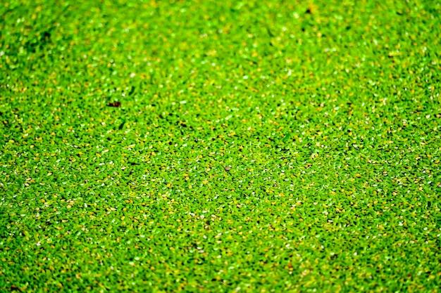 Москитный папоротник имеет зеленый и желтый цвет и опадает на поверхность воды.