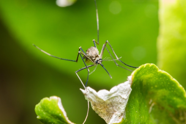 Mosquito on a green leaf upside down Premium Photo