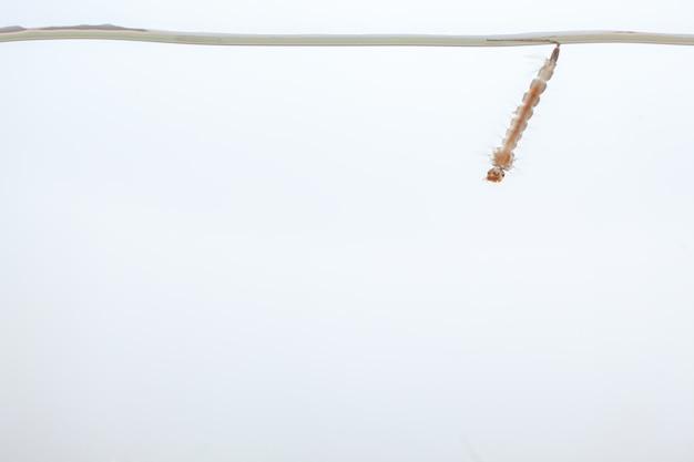 물에 모기 유충-흰색 배경에 열대 질병을 일으키는 작은 동물