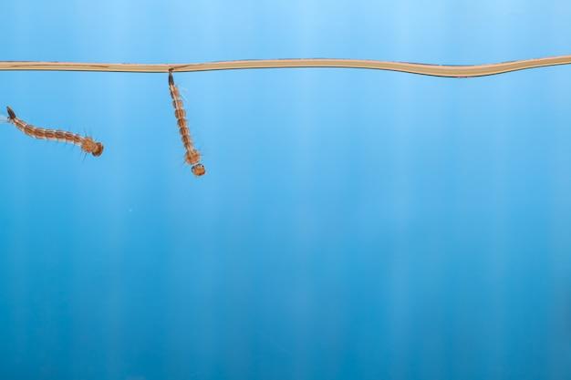 물 속의 모기 유충-열대성 질병을 일으키는 작은 동물