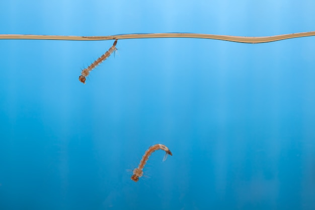 Mosquito larvae in the water - small animal that causes tropical diseases