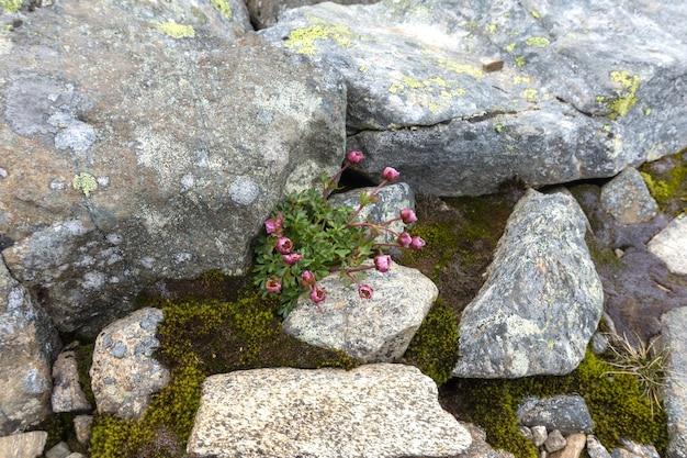 ノルウェー、ヨートゥンヘイム国立公園の石のコケと地衣類