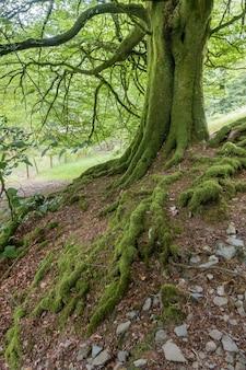데본의 이끼 덮인 나무 줄기와 뿌리