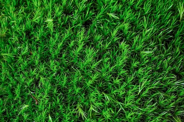 Moss dicranum scoparium, 습한 숲의 상록 식물. 녹색 이끼 질감과 배경입니다.