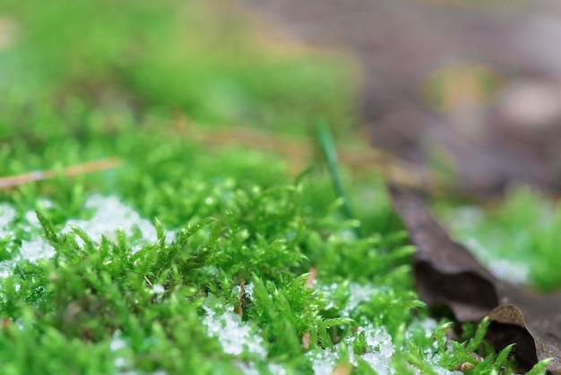 Листья мха видны сквозь растаявший снег. зеленая трава под снегом весной.