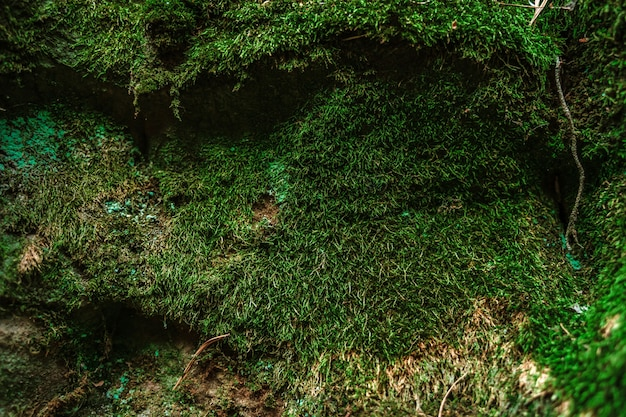 Moss on the rocks in the wild forest