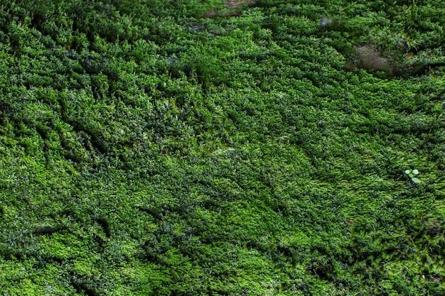 モスのテクスチャです。コケの背景。グランジテクスチャ、背景に緑の苔