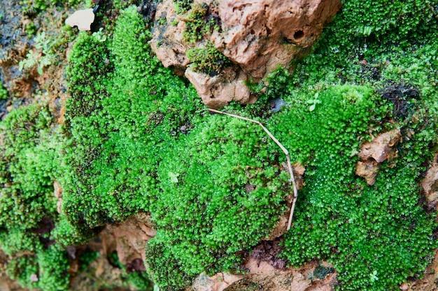 Мох текстуры фона. зеленый мох на фоне камня