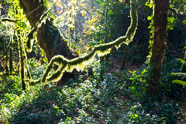 Moss on trees in the forest, national park, the yew-boxwood grove winter in sochi, russia. january 5, 2021