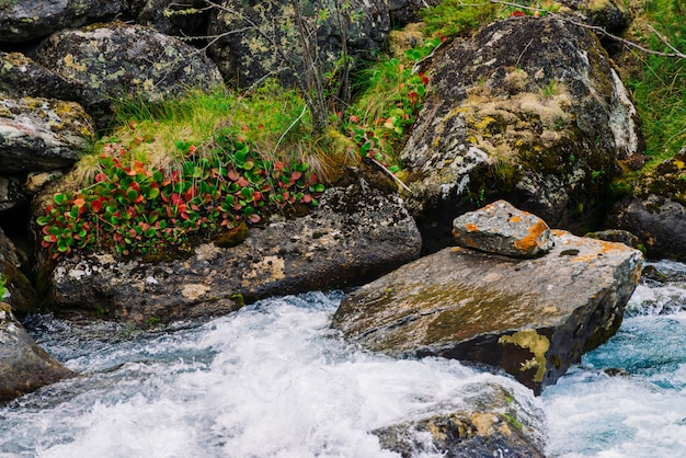 Mosses and lichens and rich vegetation on stones and boulders near mountain creek. fast mountain water stream. multicolored leaves. picturesque plants highlands. amazing flora in wilderness.