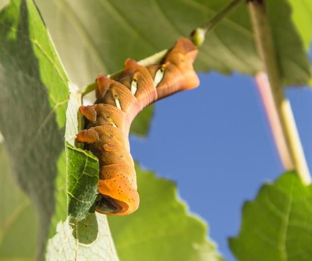 Moth caterpillar eumorpha pandorus eating on leaf
