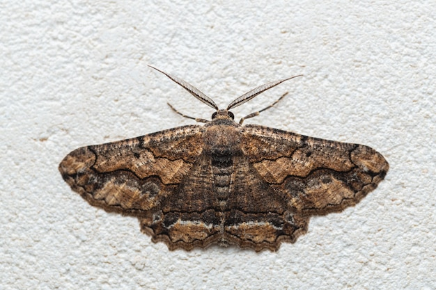 Moth in the family geometridae (menophra japygiaria)