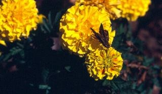 Moth feeding on a marigold