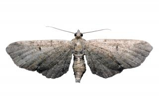 Moth  night