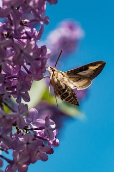 Moth trying to drink the nectar of a lilac syringa flower