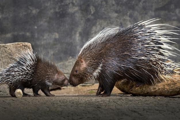 자연 환경에서 엄마와 아기 고슴도치 (hystrix brachyura).