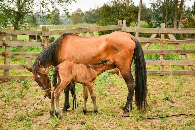 Мать и молодая лошадь