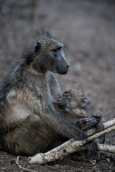 Mother baboon feeding her baby