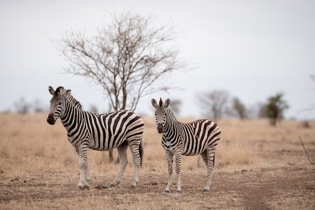 Mother and a baby zebra on a savanna field