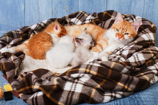 Mother cat is nursing her kittens at plaid blanket