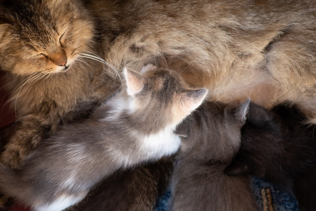Mother cat and small kittens drinking milk from her chest. nursing small beautiful kittens