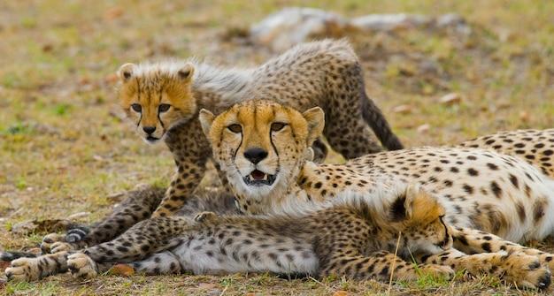 Мать гепарда и ее детеныши в саванне.