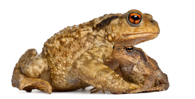 Mother common toad and her baby, bufo bufo, on white isolated