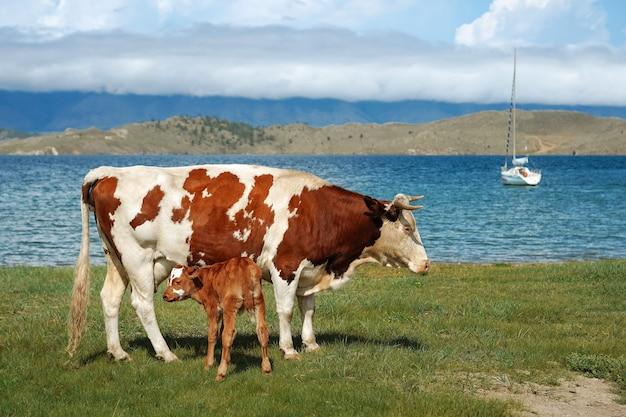 ヨットを背景に母牛と子牛