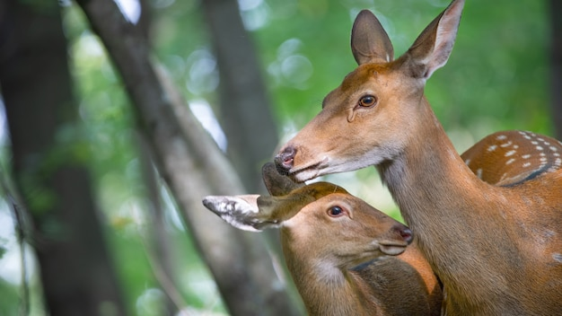 The mother deer takes care of the cub