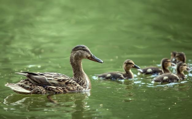 어미오리와 오리 새끼들이 호수에 떠 있다