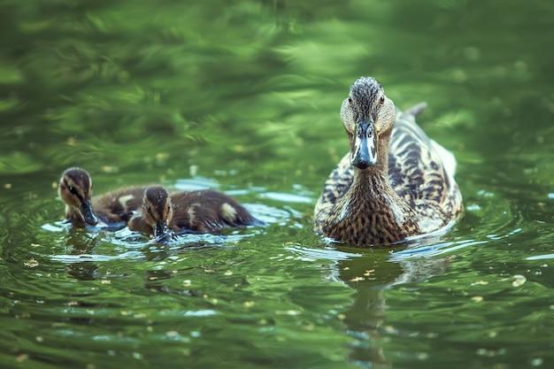어머니 오리와 오리 새끼가 호수에 떠 있습니다.