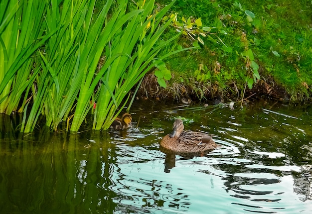 湖面で泳ぐアヒルの子と母鴨
