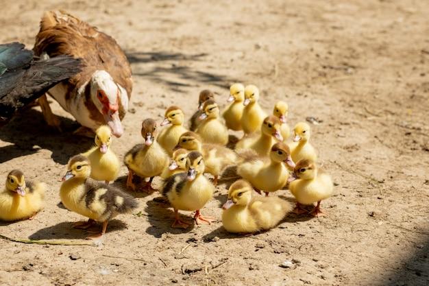 그녀의 ducklings와 어머니 오리입니다. 엄마를 따르는 오리 새끼가 많다.