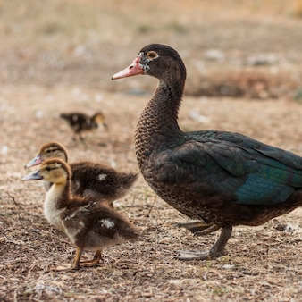 Mother duck with her little buds