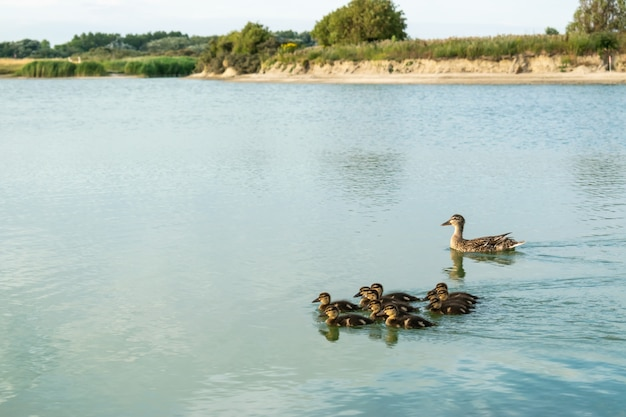 Mother duck and young ducks are swimming together on the lake.