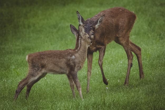 クリアリングで子鹿(幼い)と母親のeer