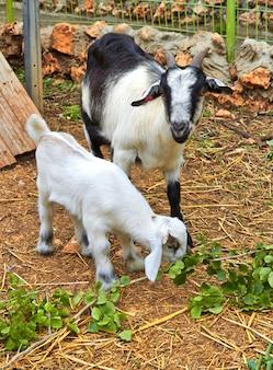 Мама коза и ее детеныш, кибуц израиль