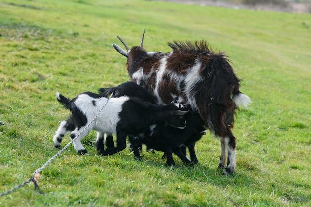 Мать коза кормления своих детей в поле
