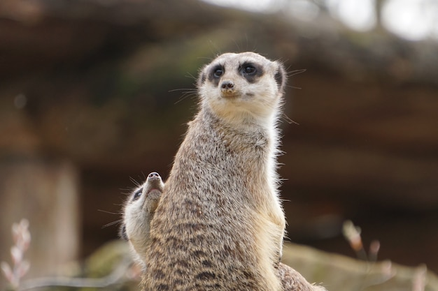 Mother grey meerkat with its child sitting in the wild nature