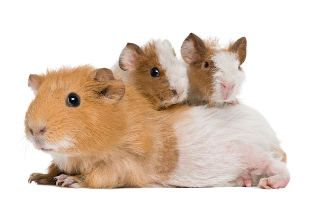 Mother guinea pig and her two babies